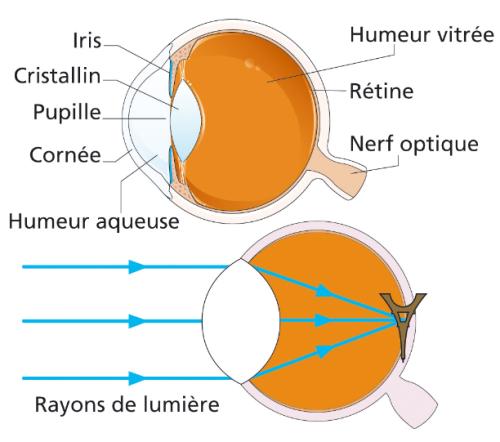 Formation d'une image dans l'oeil